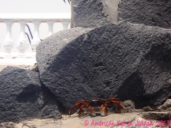 crab  © American Kat in Jeddah  2013