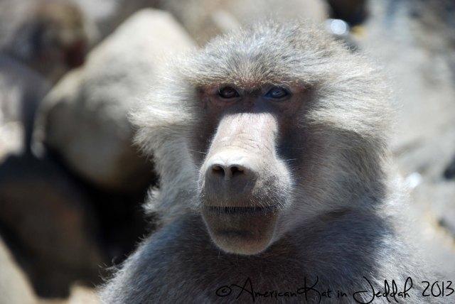 monkeys 1  © American Kat in Jeddah  2013