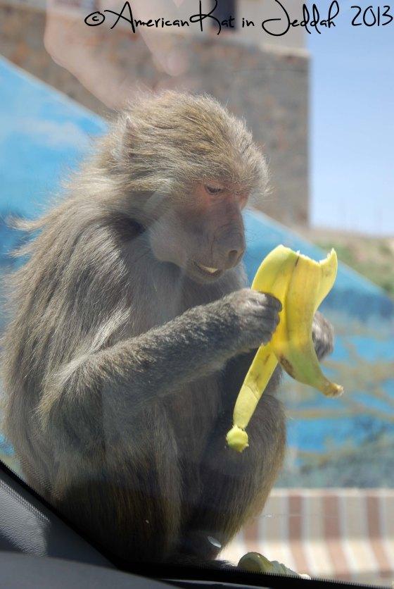 monkeys 3  © American Kat in Jeddah  2013