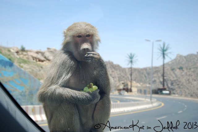 monkeys 5  © American Kat in Jeddah  2013