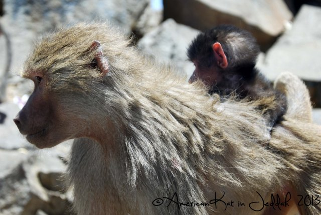 monkeys 6  © American Kat in Jeddah  2013