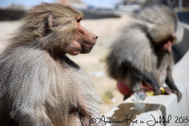 monkeys 8  © American Kat in Jeddah  2013