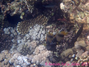 red sea bannerfish© American Kat in Jeddah  2013